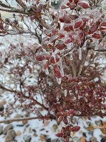Beautifully frozen red colored bush covered with ice  KentuckyUSA