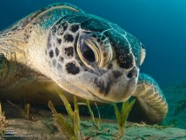Beauty of Green Turtle