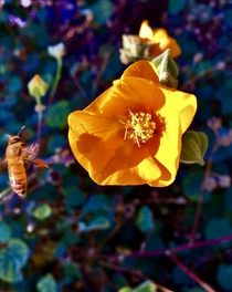 Bee coming in for a landing on a California Poppy Eschscholzia californica last Spring