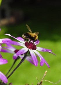 Bee pollinating a daisy