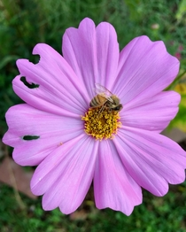Bee wakes on purple Cosmos flower after late night garden party