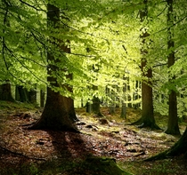 Beech Trees in Grib Forest Denmark  by Malene Thyssen