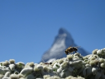 Bees and the Matterhorn x