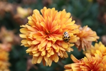 Beetle amp Chrysanthemum