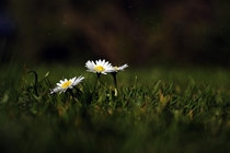 Bellis Perennis Common Daisy