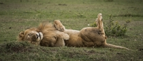 Belly Rubs -Lion