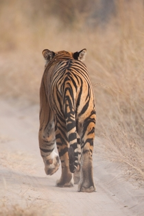 Bengal Tiger in India Panthera tigris tigris  photo by Jamen Percy