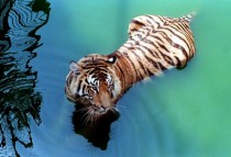 Bengal Tiger in Vibrant Waters