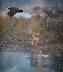 Bengal Tiger Photo credit to Nitish Madan