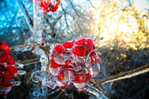 Berries encased in ice  x-post rwinterporn