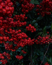 Berries so red  Photo taken by me OC