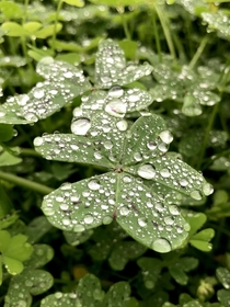 Big clovers after the rain