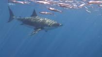 Big girl in the water Great White Carcharodon carcharias Isla Guadalupe  No Edit