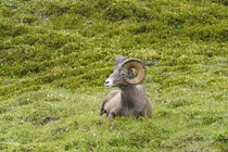 Big horn in meadow near Athabasca Glacier Alberta Canada