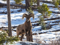 Big horn sheep near cheesman lake colorado