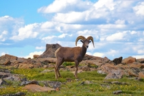 Big Horn Sheep Ovis canadensis Rocky Mountain National Park