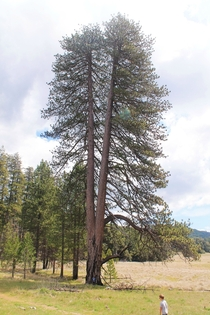 BIG Jeffrey Pine Pinus Jeffreyi - Palomar Mountain - San Diego County
