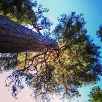 Big Tree WA - One of the largest Ponderosa pines Pinus ponderosa in the world