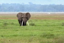 Big Tusker wandering the fields of Ngorongoro Crater