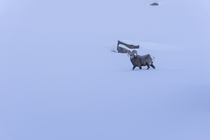 Bighorn ram trudging through deep snow high in the Colorado Rockies Ovis canadensis