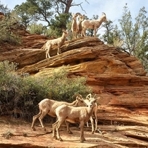 Bighorn Sheep at Zion National ParkOCx