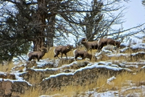 Bighorn Sheep Ovis canadensis in Yellowstone