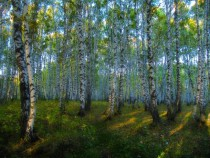 Birch forest Altai Mountains Kazakhstan