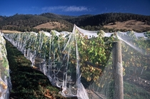 Bird netting protecting grapevines close to harvest time  by Mark Smith