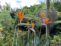 Birds of paradise looking fabulous Hamilton NZ