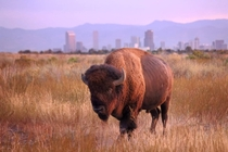 Bison at Rocky Mountain Arsenal NWR Denver Colorado