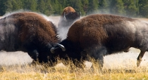 Bison collide in yellowstone Bison Bison x