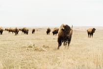 Bison herd Tall Grass Prairie Preserve Marker Pawhuska OK Photo credit to Simon Maage