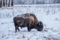 bison in Alberta close to Edmonton Canada