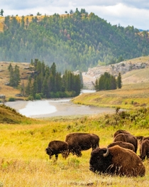 Bison in Lamar Valley Yellowstone National Park