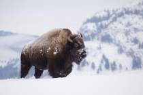 Bison in the Yukon Canada