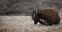 Bison resting by the mud volcanoes of Yellowstone
