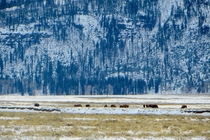 Bison roam in Lamar Valley Wyoming