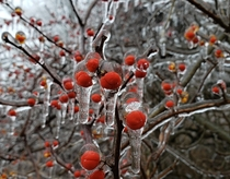 Bittersweet berries covered by a day of freezing rain Northeastern Pennsylvania