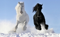Black and White Horses  x