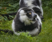 Black and White Ruffed Lemur - Just getting involved in a shouting match with another member of the troop