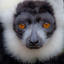 Black and white ruffed lemur - the sadness in his eyes OC