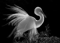 Black and white shot of a Great Egret breeding plumage backlit by the morning lights of Gatorlands Rookery Orlando