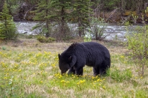 black bear eating dandelion in Jasper National Park close to Maligne lake Canada