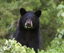 Black Bear Eating Dinner While Being Eaten for Dinner