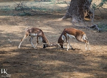 Black Bucks Fighting - Photographed by Hanan Khaleeq - Lal Sunhara National Park Bahawalpur Pakistan