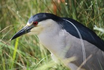 Black-crowned Night Heron Nycticorax nycticorax Santa Barbara Ca