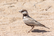 Black-crowned sparrow-lark Eremopterix nigriceps adult males has a bold pied head pattern with a mainly blackhead with contrasting white forehead and white cheek patches - Desert National Park Rajasthan India
