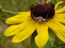Black Eyed Susan Rudbeckia Hirta with a spider