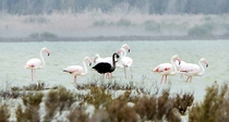 Black Flamingo by Marinos Meletiou