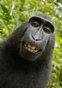 Black Macaque Takes a Self-Portrait